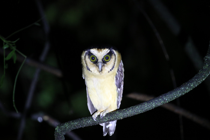 Buff-fronted Owl - Andean Spirit Lodge
