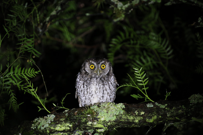 Koepcke's Screech Owl -  Andean Spirit Lodge