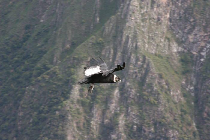 Kondor über der Apurimacschlucht in der Nähe von Chonta